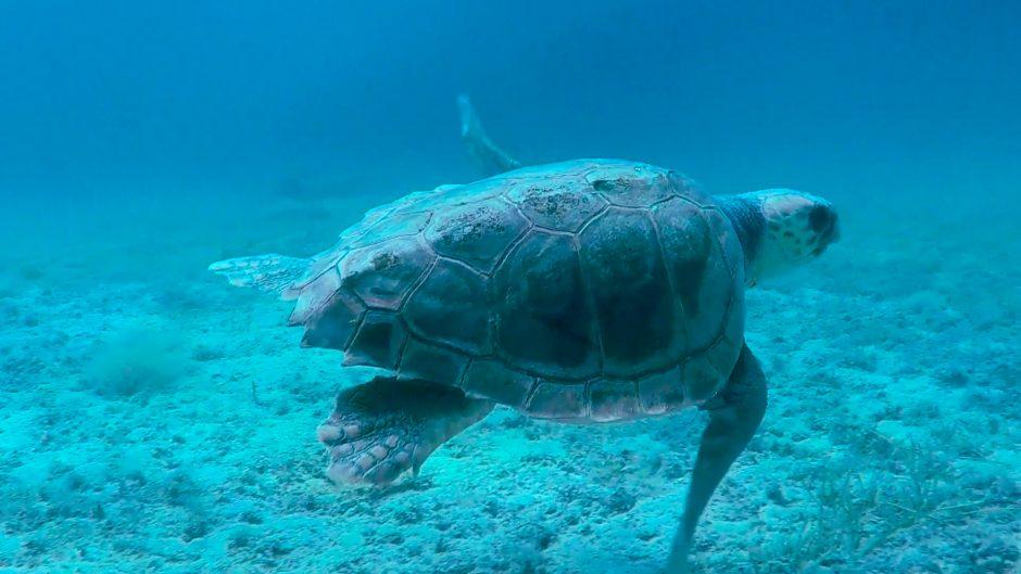 Tortuga marina navegando por el fondo del mar